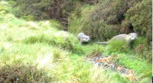 Otters recorded on-site