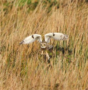 Short-eared owl hunting on site